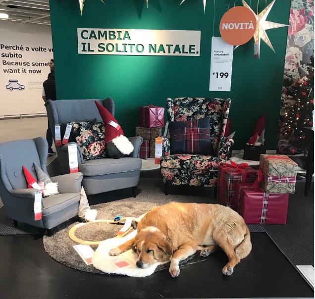 Магазины IKEA в Италии приютили бездомных собак
